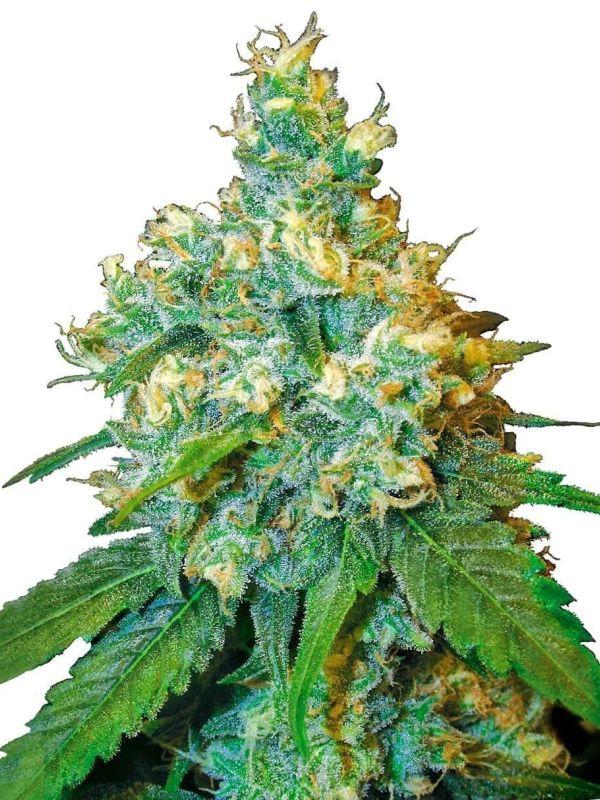 jack herer odmiany marihuany